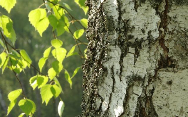 Birke (Betula verrucosa)
